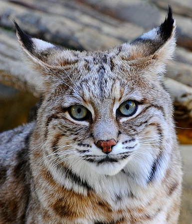 Bobcat  Poser 1