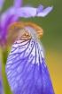 ~Siberian Iris~