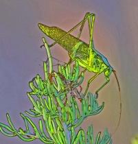 Short  Wing  Green  Grasshopper
