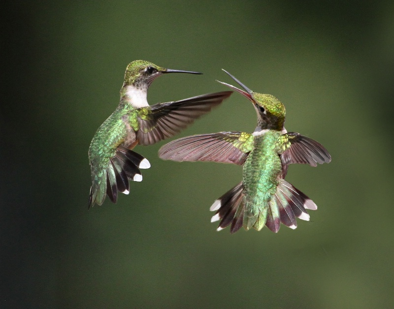 Hummingbird Chatter - ID: 12798939 © Kathy Reeves