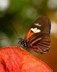 Butterfly on Oran...