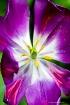 Purple Tulip-6809