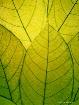 Fragile leaves