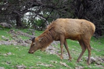 European Red Deer