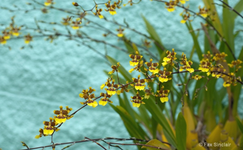 Yellow Orchids Blue Wall