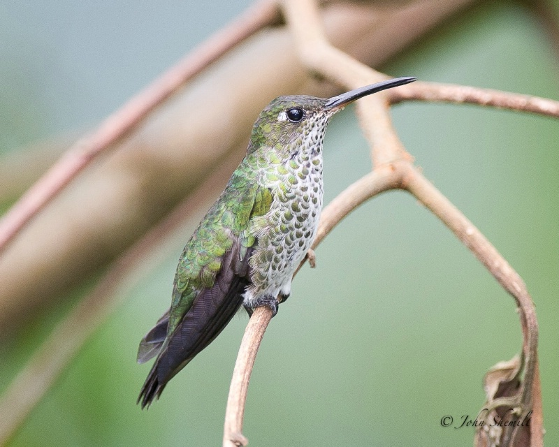Many Spotted Hummingbird - Feb 27th, 2012 - ID: 12853476 © John Shemilt