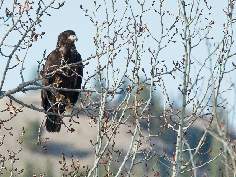 Golden Eagle   - ID: 12853805 © Kelly Pape