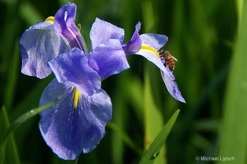 The Bee and the Iris