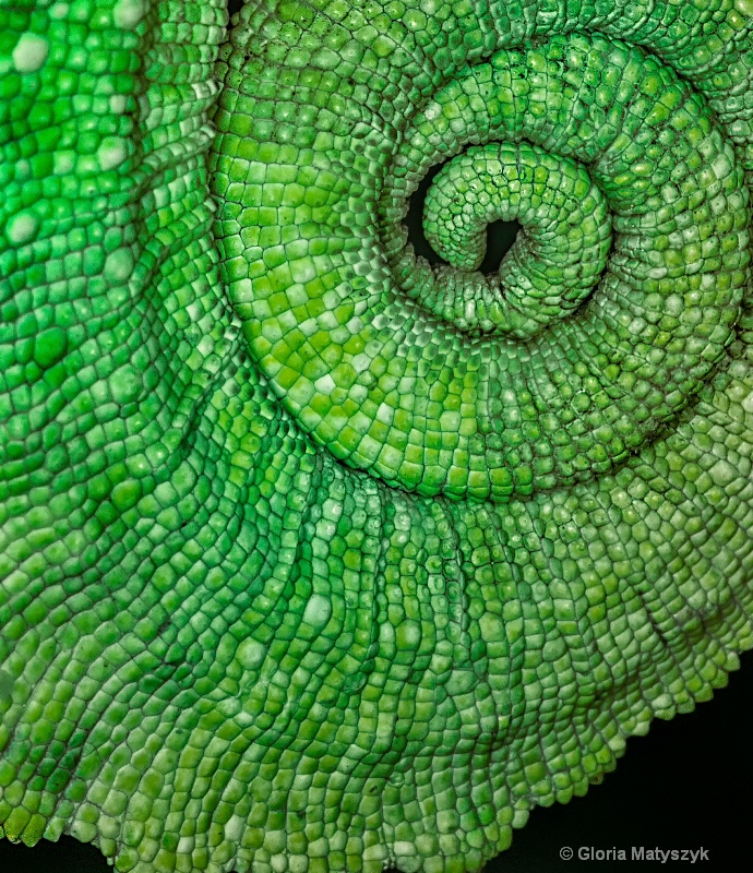 Curled tail of a chameleon - close up