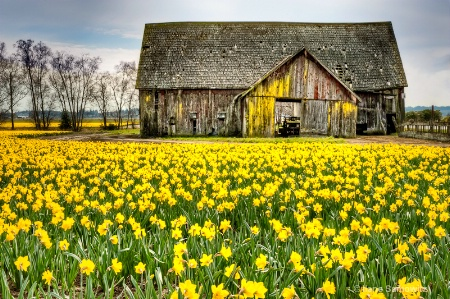 Skagit Barn and Daffodils