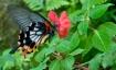 butterfly in flig...