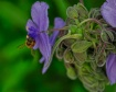 Bee on Spiderwort