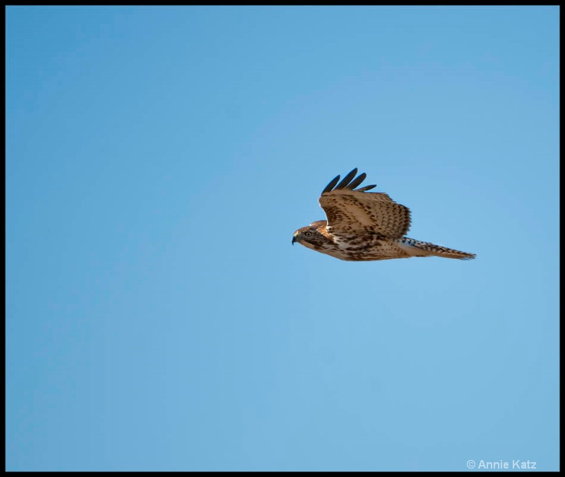hawk - ID: 12862675 © Annie Katz