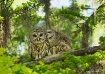 Barred Owls-Love ...