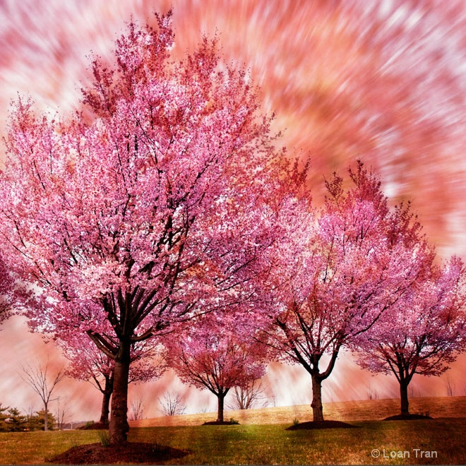 Burst of Spring - ID: 12869360 © Loan Tran