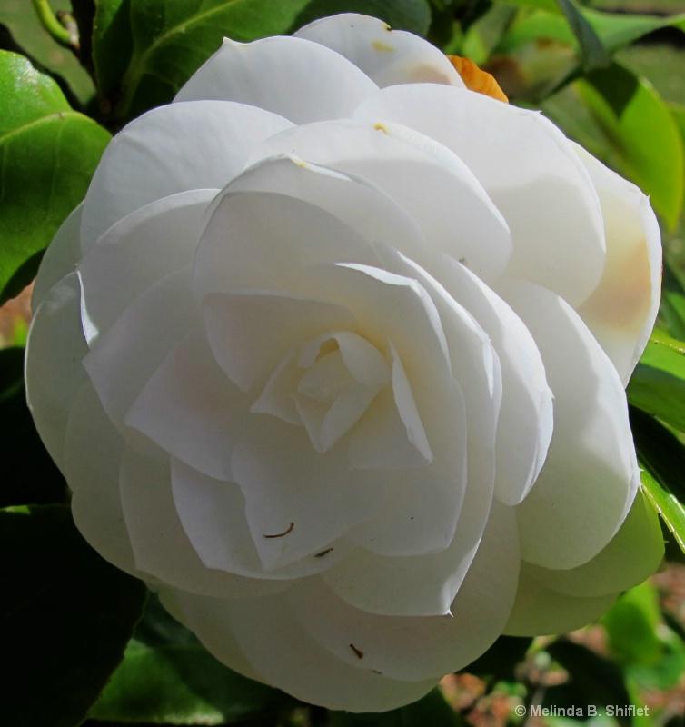 A Gardenia for Mom