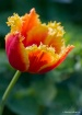 Firey Tulip