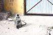monkeys, jaipur