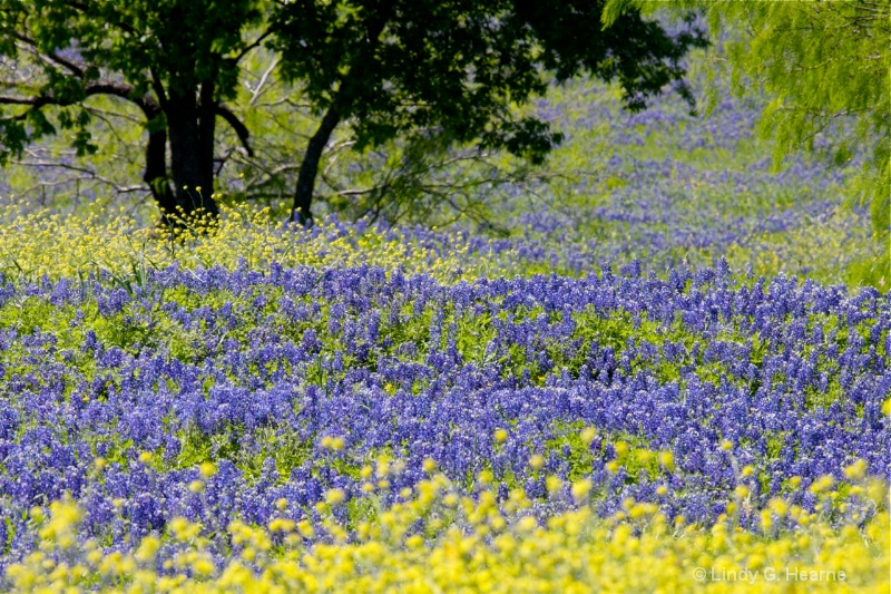 Bluebonnets from Fort Worth, Texas 3