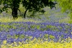 Bluebonnets from ...
