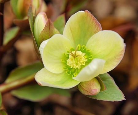 Lenten Rose 2012 4