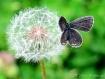 Dandy Butterfly