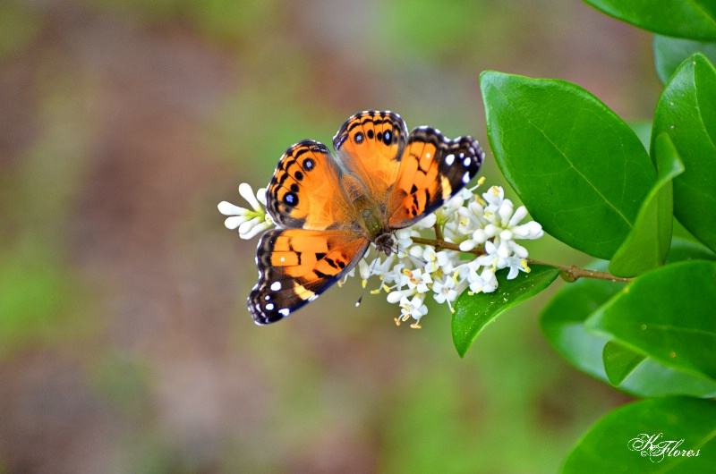 Sping Butterfly