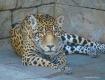 jaguar best