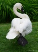 trumpet swan 1