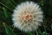 Dandelion In May