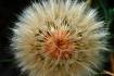 Dandelion In May ...