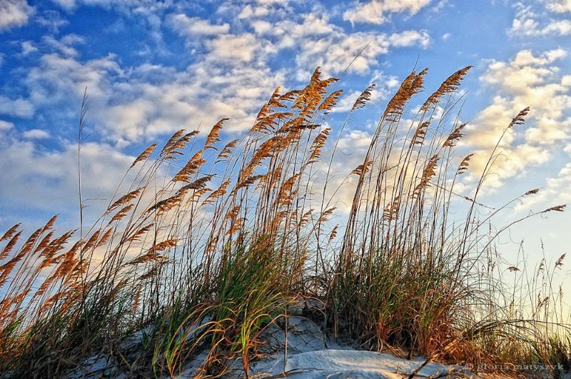 Golden Sea Oats, Beaufort, S Carolina, USA - ID: 12902733 © Gloria Matyszyk