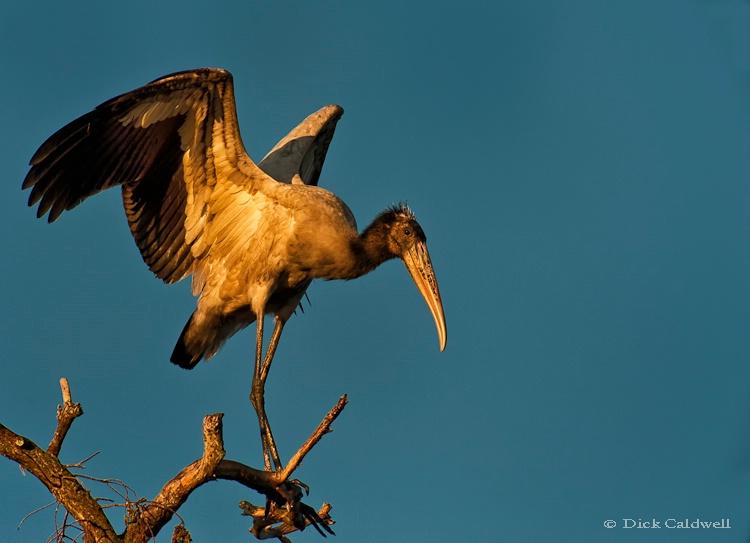 Wood stork in a tree,Circle Bar B Park,Lakeland,FL - ID: 12907223 © Gloria Matyszyk