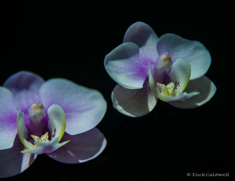 Phalenopsis orchids,Sunken Gardens,St.Petersburg - ID: 12907226 © Gloria Matyszyk