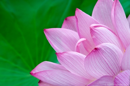 Lotus Pink on Green