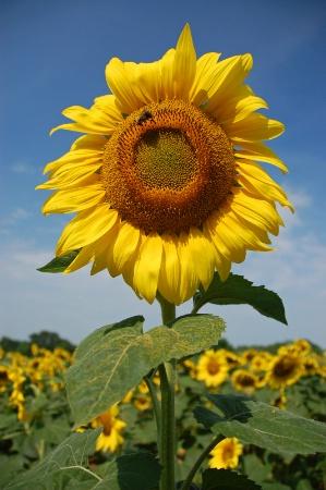 Maryland Sunflower