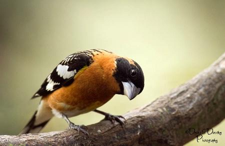 Male Grosbeak