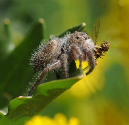 Jumping Spider with Lunch