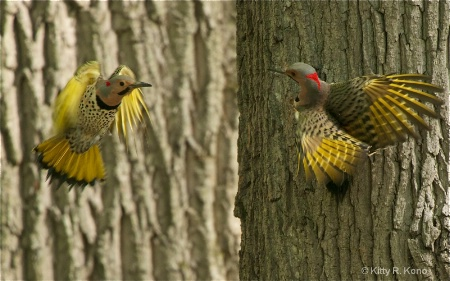 Male Flickers Fighting at Valley Forge