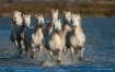Camargue Horses 0...