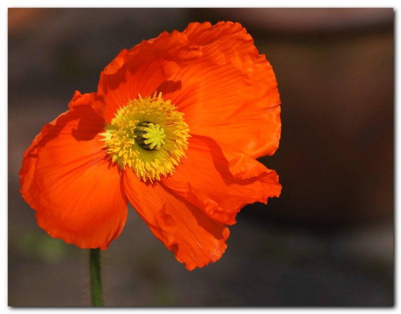 Today's Poppy