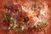 Native Azalea (&#...