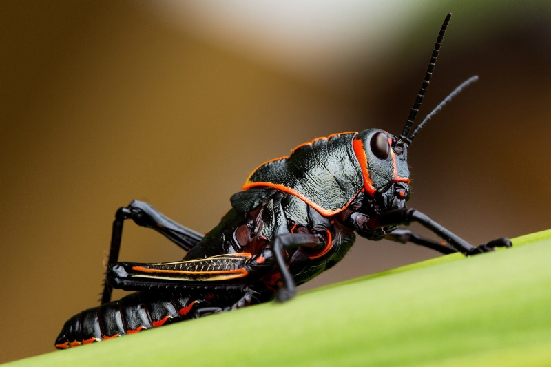 Black Grasshopper