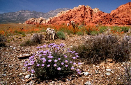 Mojave Aster  Red Rock Canyon  J-91-12