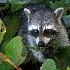 © Michael Stern PhotoID # 12949243: Racoon licking a leaf