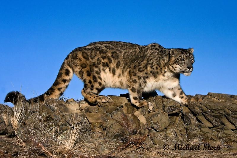 Snow Leopard  - ID: 12949278 © Michael Stern