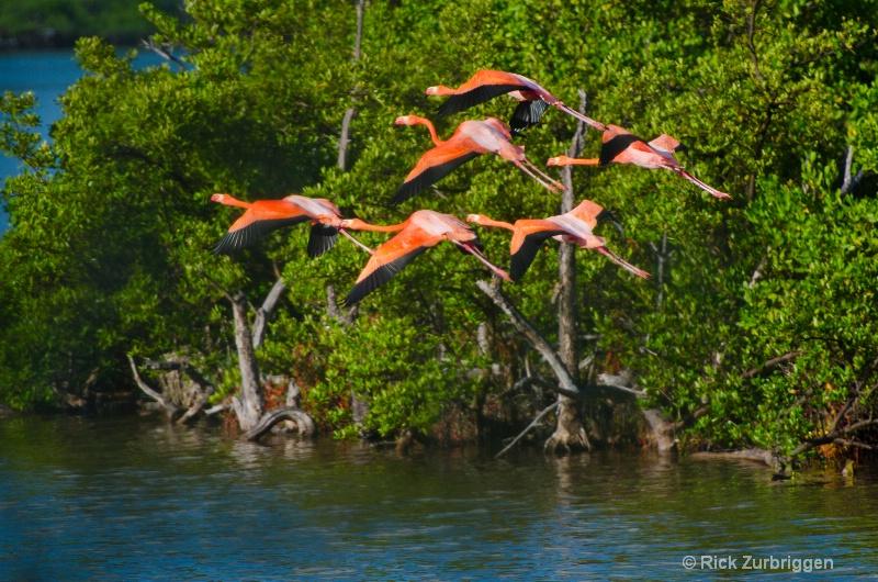 flamingo flight dsc5492 - ID: 12955800 © Rick Zurbriggen