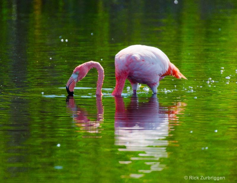 flamingo in green water 11x8.5 dsc5829 - ID: 12955806 © Rick Zurbriggen