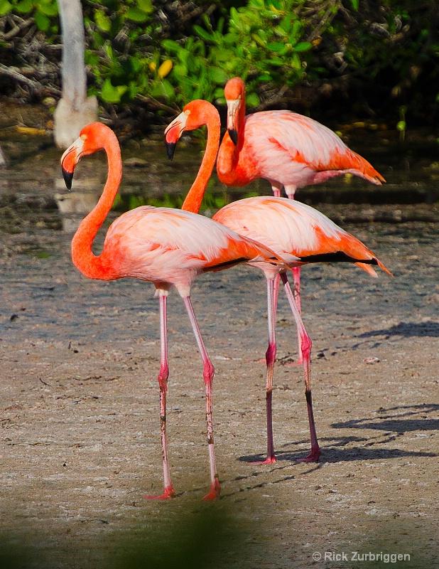 flamingos 11x8.5 dsc5485 - ID: 12955815 © Rick Zurbriggen