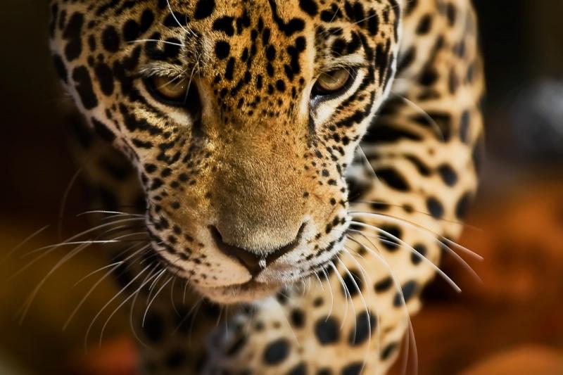 Jaguar Maya - ID: 12956040 © Michael Stern
